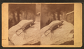 Whip tailed lizard, by Wittick, Ben, 1845-1903.png