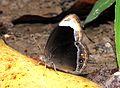 White-bar Bushbrown Mycalesis anaxias by Dr. Raju Kasambe DSCN1985 (6).jpg