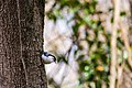 White-breasted nuthatch (46858225454).jpg