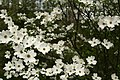 White-dogwood-tree-forest - West Virginia - ForestWander.jpg