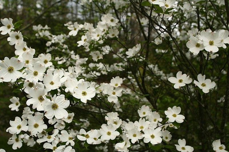 File:White-dogwood-tree-forest - West Virginia - ForestWander.jpg