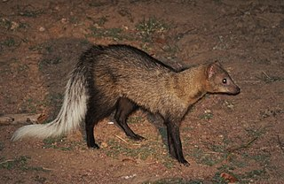 White-tailed mongoose species of mammal