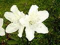 White Azalea1.jpg