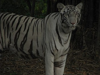 White Tiger Cooling Off in a Summer Evening. 08.jpg