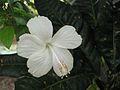 White hibiscus.jpg