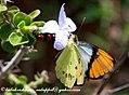 White orangetip (2920979834).jpg
