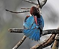 White throated kingfisher(Halcyon smyrnensis).jpg
