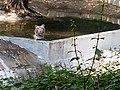 White tiger national zoological park delhi.jpg