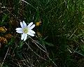 Wild Flower - geograph.org.uk - 444743.jpg