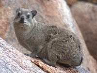 Wild Rock Dassie, living in the rocks near the reception of Gondwana Canyon Village.jpg