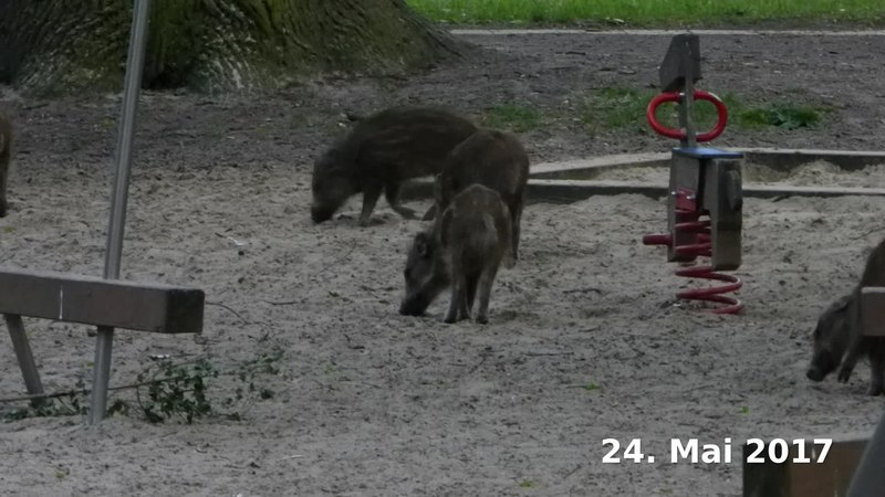 File:Wild boars with childs on a playground and in a park in Berlin-Spandau.webm