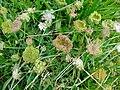 Wild carrot (Daucus carota) - geograph.org.uk - 929837.jpg