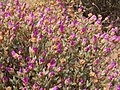 Wildflowers-Richtersveld-PICT2448.jpg