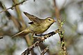Willow warbler, Phylloscopus trochilus, at Marakele National Park, Limpopo, South Africa (32788378268).jpg