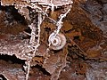 Wind Cave boxwork fossilized snail.JPG