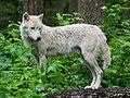 Wolf (21208852029).jpg