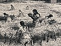 Women gathering leaves of the coca plant (Erythroxylum coca) Wellcome V0043210 (cropped).jpg