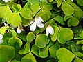 Wood-sorrel (Oxalis acetosella), Coppice Hoop, Penn (27261233943).jpg
