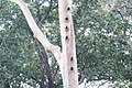 Wood Pecker Colony.jpg