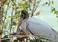 Wood Stork (36363913542).jpg
