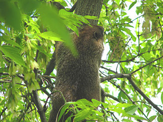 Groundhog - Groundhogs can climb trees to escape predators