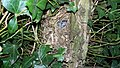 Wren Nest 23-05-09 (3648013940).jpg