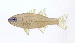 XRF-Apogon apogonoides