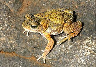 Xanthophryne koynayensis - Adult male