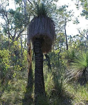 palmier xanthorrhoea