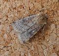 Xestia sexstrigata. Six-striped Rustic - Flickr - gailhampshire.jpg