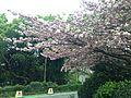 Yae-Zakura Cherry Blossoms in Kaizuka Campus, Kyushu University 2.JPG