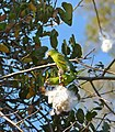 Yellow-chevroned Parakeets (Brotogeris chiriri) eating seeds of Kapok Tree (Pseudobombax tomentosum) (30968800893).jpg