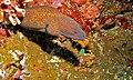 Yellow-edged Moray (Gymnothorax flavimarginatus) (6056335858).jpg