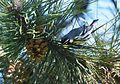 Yellow-throated Warbler (25771706823).jpg
