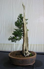 Yew bonsai, Bonsai Soceity of Greater Hartford.jpg