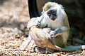 Young Grivet Monkey Trying to Corral Baby (19918788031).jpg