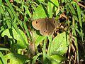 Ypthima ypthimoides Moore, 1881 – Palni Four-ring at Mannavan Shola, Anamudi Shola National Park, Kerala (18).jpg