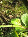 Ypthima ypthimoides Moore, 1881 – Palni Four-ring at Mannavan Shola, Anamudi Shola National Park, Kerala (22).jpg