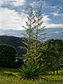 Yucca Plant blooming.jpg