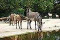 Zebra Berlin Zoo.JPG