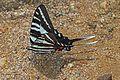 Zebra Swallowtail - Eurytides marcellus, Leesylvania State Park, Woodbridge, Virginia.jpg