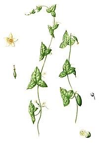 Zehneria indica Blanco2.365-cropped.jpg