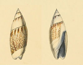 Olivella purpurata, afbeelding uit Swainsons Zoological Illustrations