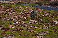 Zoothera aurea, Kobe-shi, Japan 4.jpg