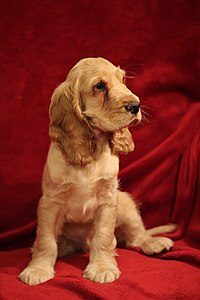 """Bill"" - Cocker spaniel anglais 1.jpg"