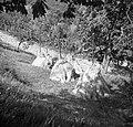 """""""Louce"""" pšenice, Nozno 1953.jpg"""