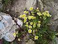 """Poached Egg"" Plant - geograph.org.uk - 179660.jpg"