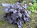 'Dolce Licorice' Coral Bells (8225365407).jpg