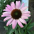 'Prairie Splendor Deep Rose' blush pink form echinacea purpurea IMG 4915-white.jpg