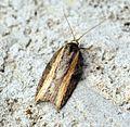 (1053) Acleris hastiana - Flickr - Bennyboymothman (1).jpg